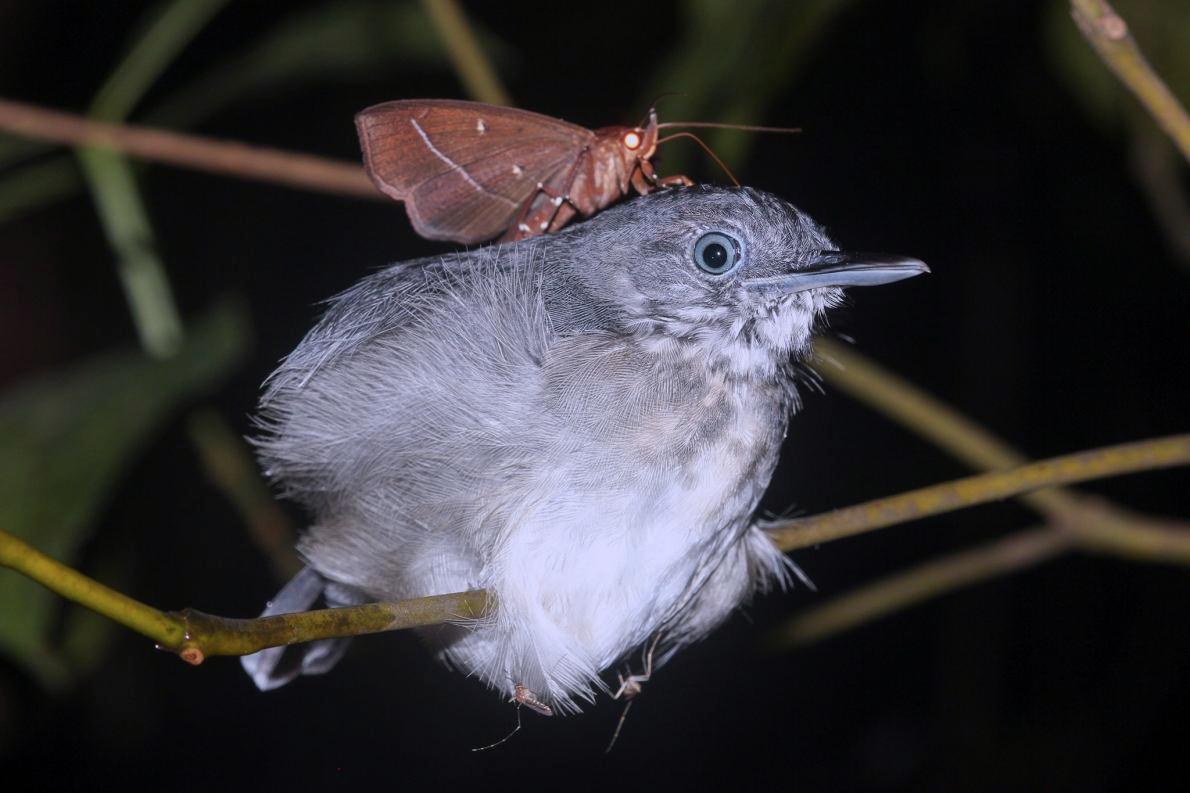 01-moth-drinks-bird-tears-img_7805.adapt.1190.1.jpg