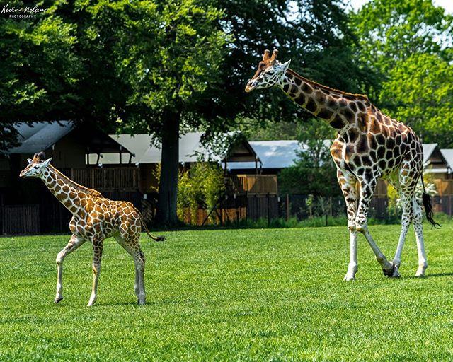 Adventures Giraffe calf's in Safari park. . . .  #denmark  #killergrams  #naturephotography  #nikon  #houseoftones  #safari  #discoverdublin #insta_ireland  #denmark🇩🇰 #visitdublin #ireland_gram #girraffe  #lovedublin #loves_ireland #lovindublin #igersdublin #igersireland #adventure  #irishphotographer  #Instagram #natgeoyourshot  #iger  #ig_ireland  #thefullirish #raw_ireland #bestirelandpics #daily_ireland #kevinnolan76 www.kevinnolanphoto.com