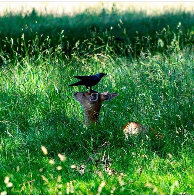 #throwbackthursday to this day last year and very chilled Doe in the @thephoenixpark chilling with a grow perched on her head. . . . . #killergrams  #deer  #nikon  #houseoftones  #naturephotography  #discoverdublin #insta_ireland  #tourismireland #visitdublin #ireland_gram #irishpassion #lovedublin #loves_ireland #lovindublin #igersdublin #igersireland #moodygrams #ireland  #Instagram #natgeo #iger  #ig_ireland  #thefullirish #raw_ireland #bestirelandpics #daily_ireland #kevinnolan76