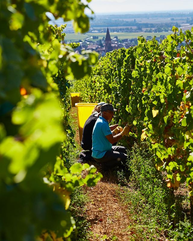 Harvest season is approaching. Which Alsace varietal wine are you looking forward to drinking the most from this season?