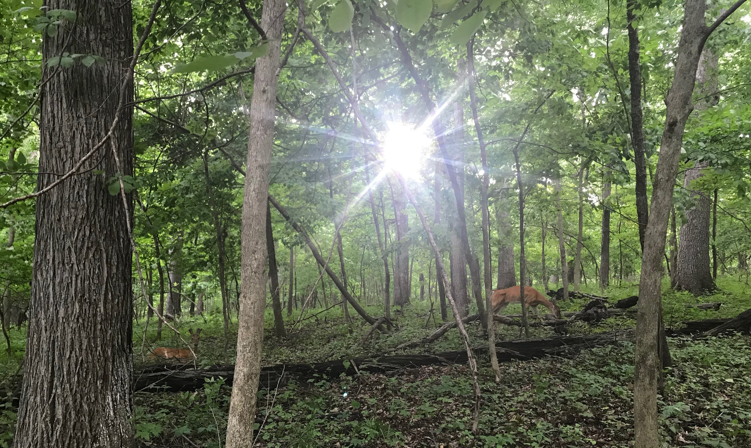 The Sun at Solstice, inaugurating Cancer season… with local forest dwellers.