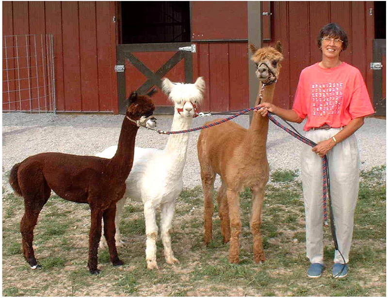 Sandy and her alpacas
