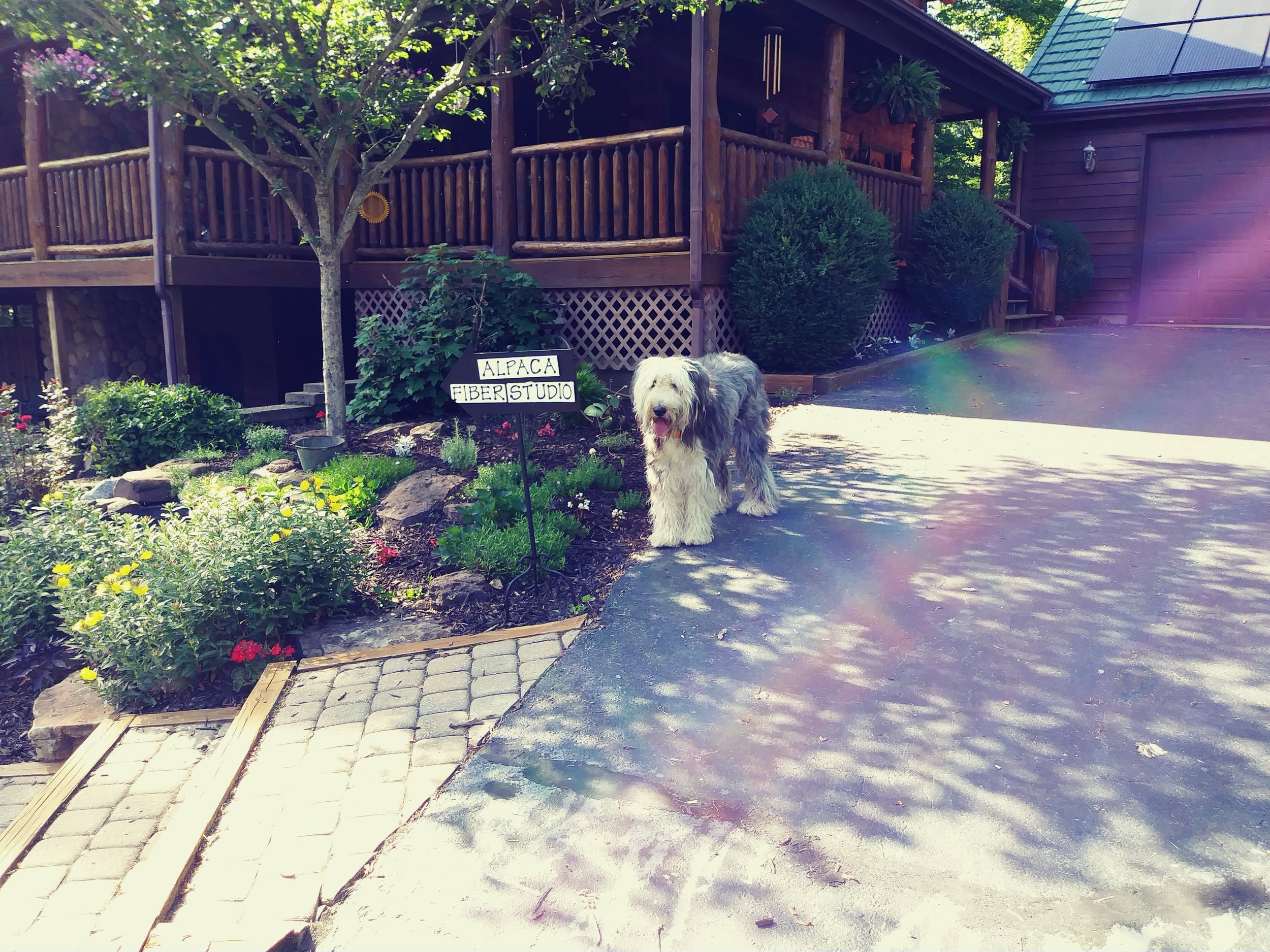 Rosie the Old English Sheep Dog is the official greeter!