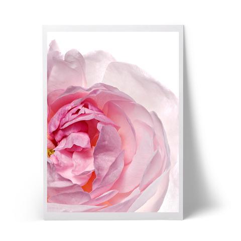 rose2_86f10851-1a44-4555-9bab-ff8e97a4bc80_large.jpg