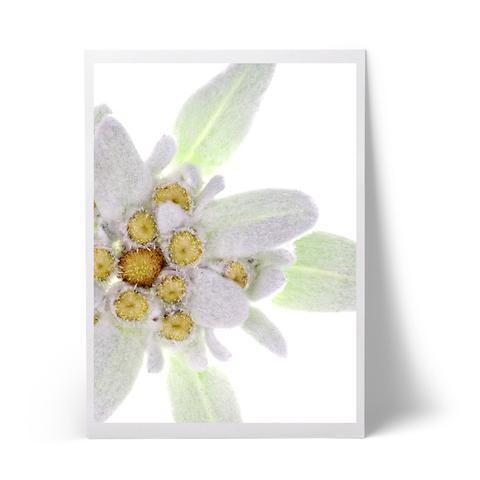 edelweiss_2992845b-b1bd-47c9-a507-b59174823ff5_large.jpg