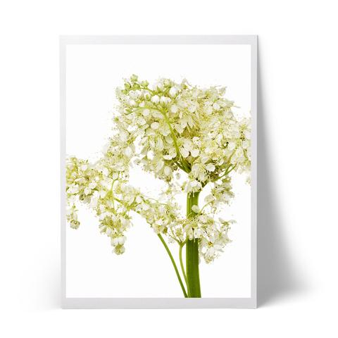 elderflower_large.jpg