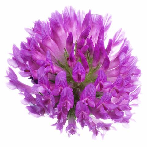 1510_Single_Swe_Flower_Rodklover_large.jpg