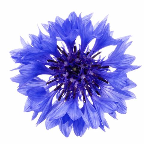 1510_Single_Swe_Flower_Blaklint_large.jpg