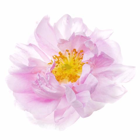 1510_Single_French_Flower_Rose_02_large.jpg
