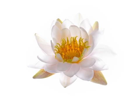 1510_Single_French_Flower_Water_Lily_large.jpg