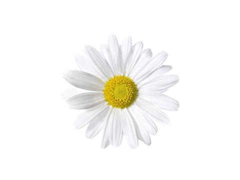 1510_Single_Swe_Flower_Prastkrage_large.jpg