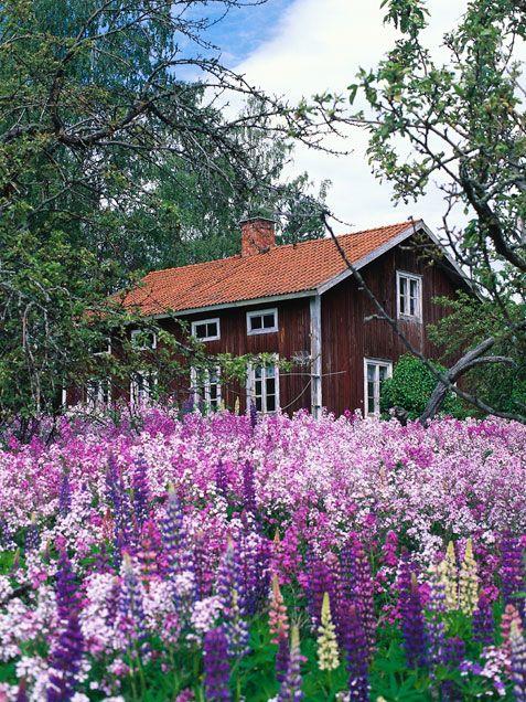 d0d73f11200d2cf93a9b8309c913f5b2--lupine-flowers-flowers-garden.jpg
