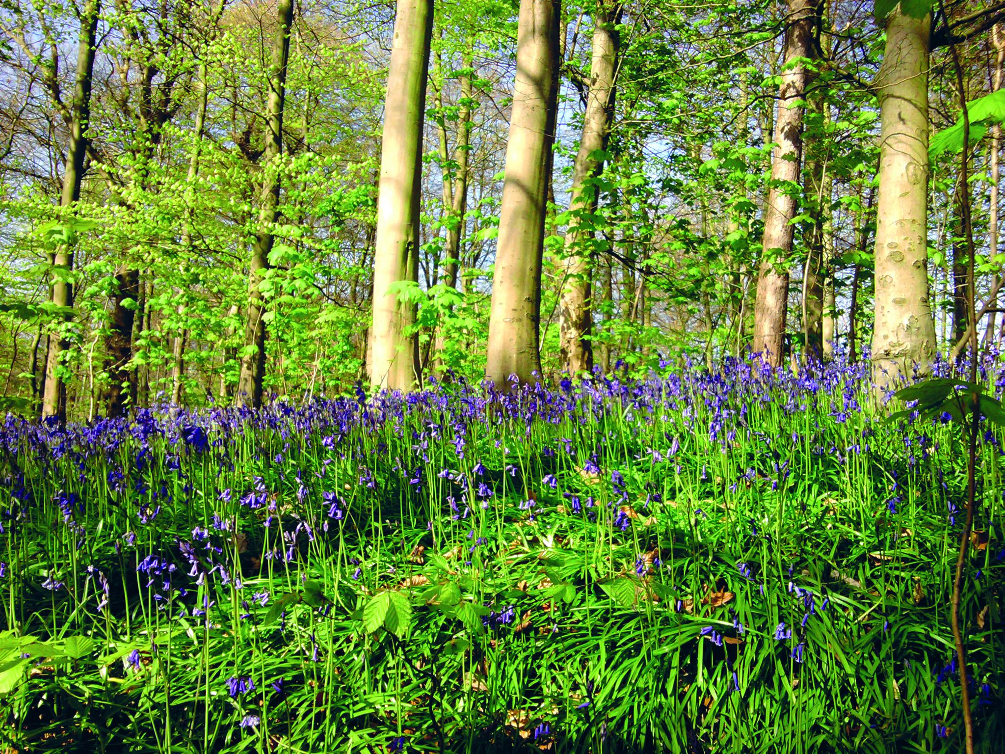 Bluebell Woods(1.0).jpg