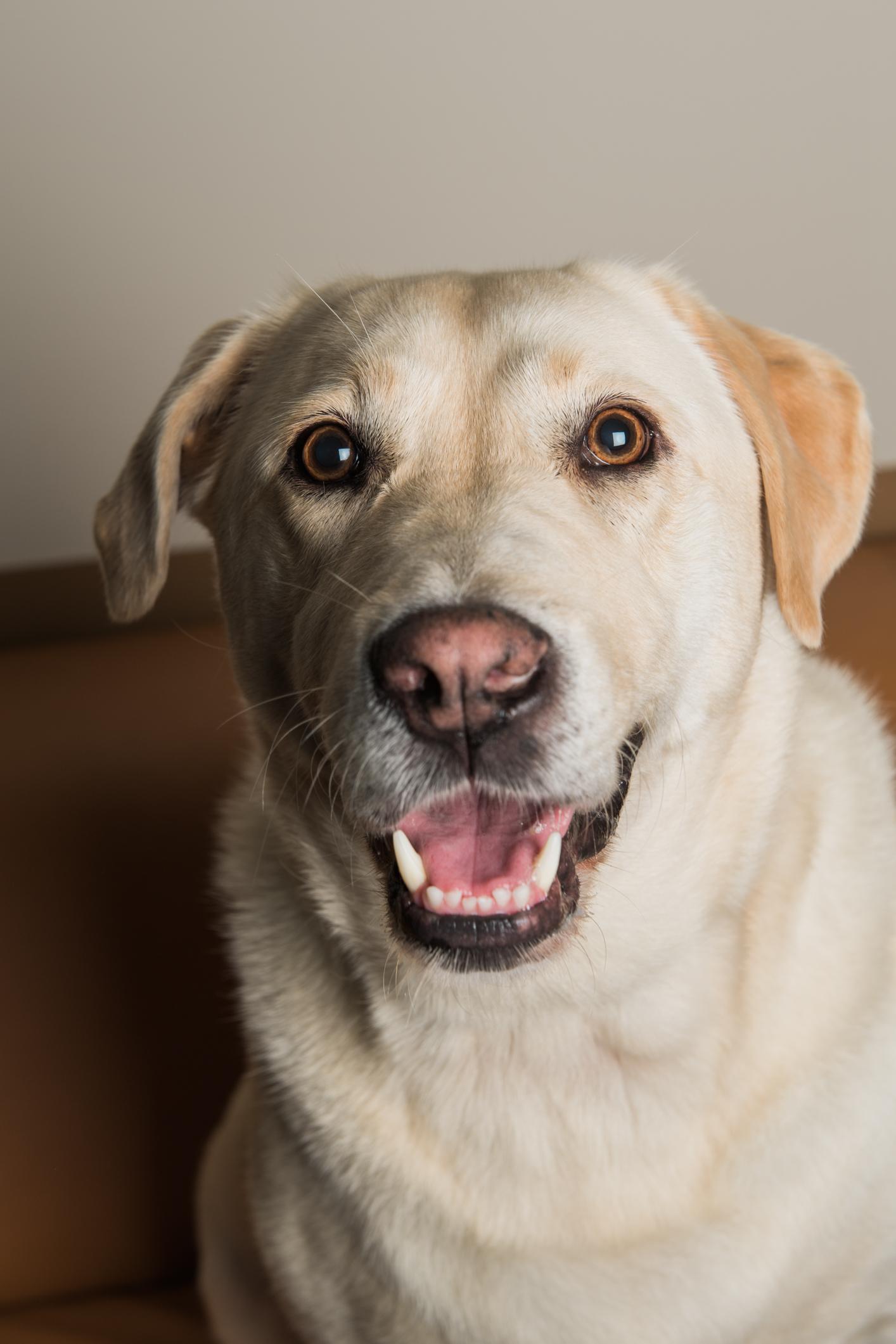 Roxy - Date of birth: 16/06/2012Breed: Labrador Retriever, YellowLikes: Treats, bum scratches, game of tug-o-war, wagging my tail no matter what!@gooddogaai