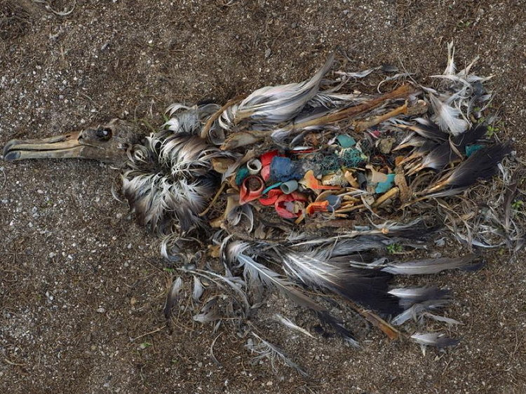 A gruesome reality. The contents of this dead albatross, photographed by Chris Jordan on the Midway Atoll, speaks volumes.
