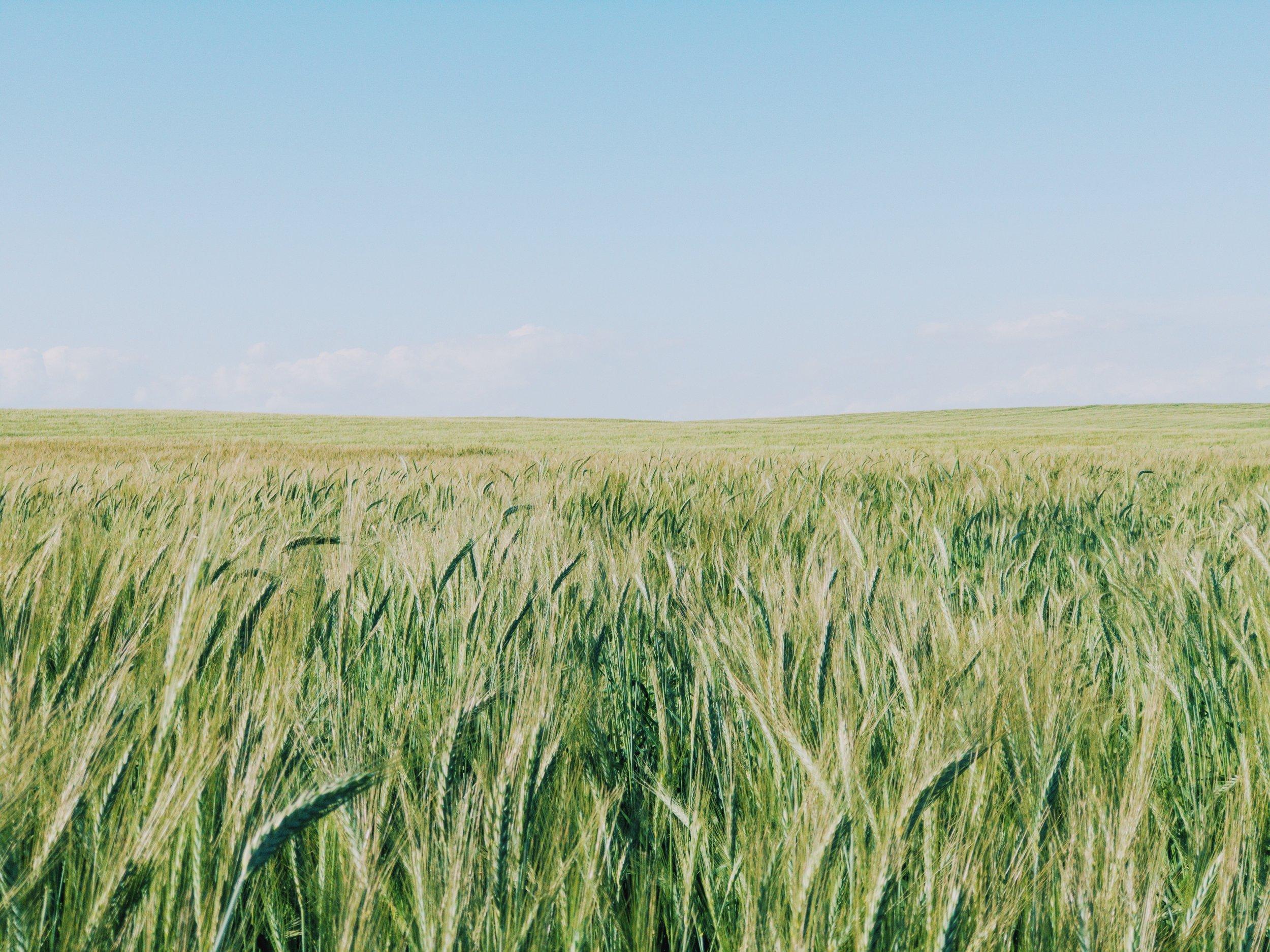 Cereal fields around Larnaka's Salt Lake.