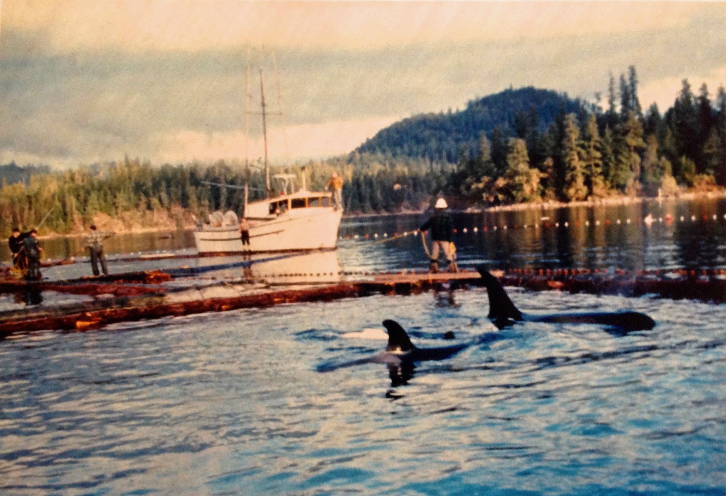 Corky with her Mother Stripe after capture at Pender Harbor in December, 1969.