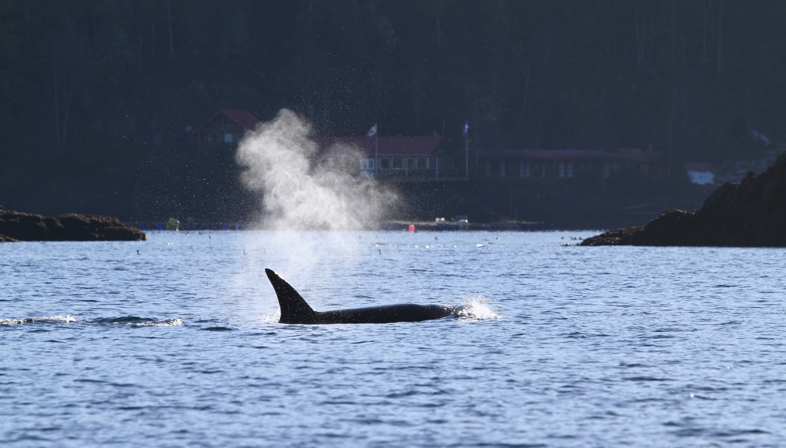 View of T60 Transient Orca passing in front of entrance to Double Bay with the facility in the back ground. Photo by Matchu.