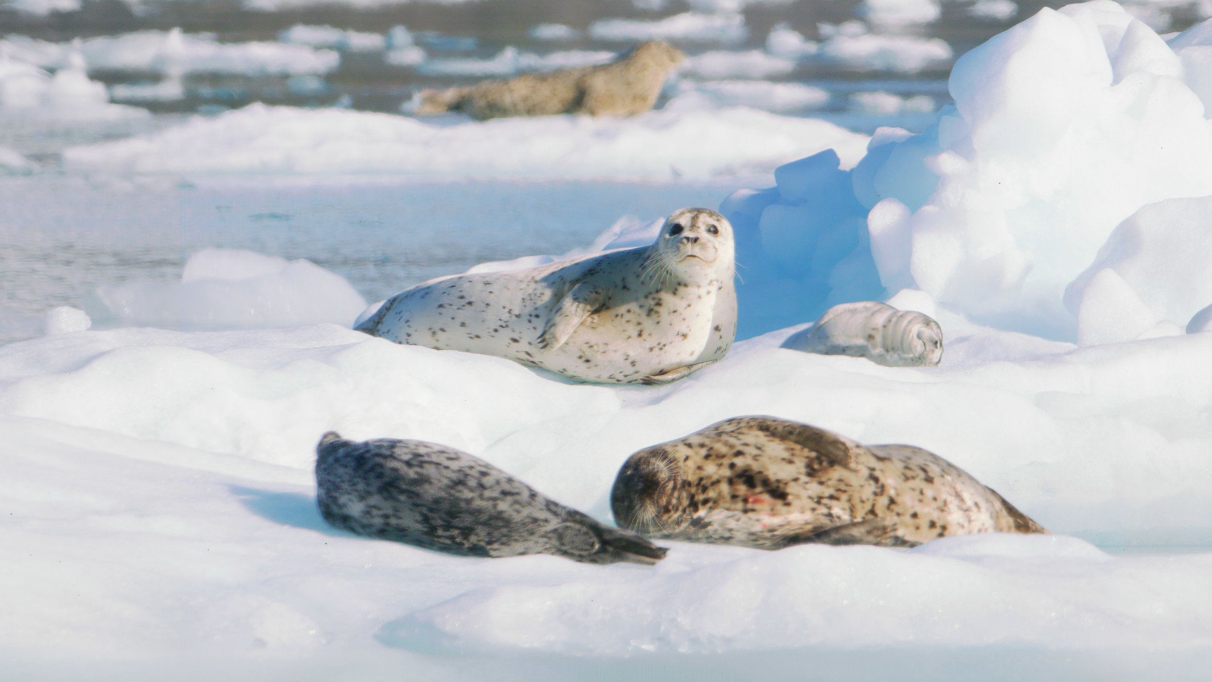 Alaska Seals - Zatzworks Aerial Video