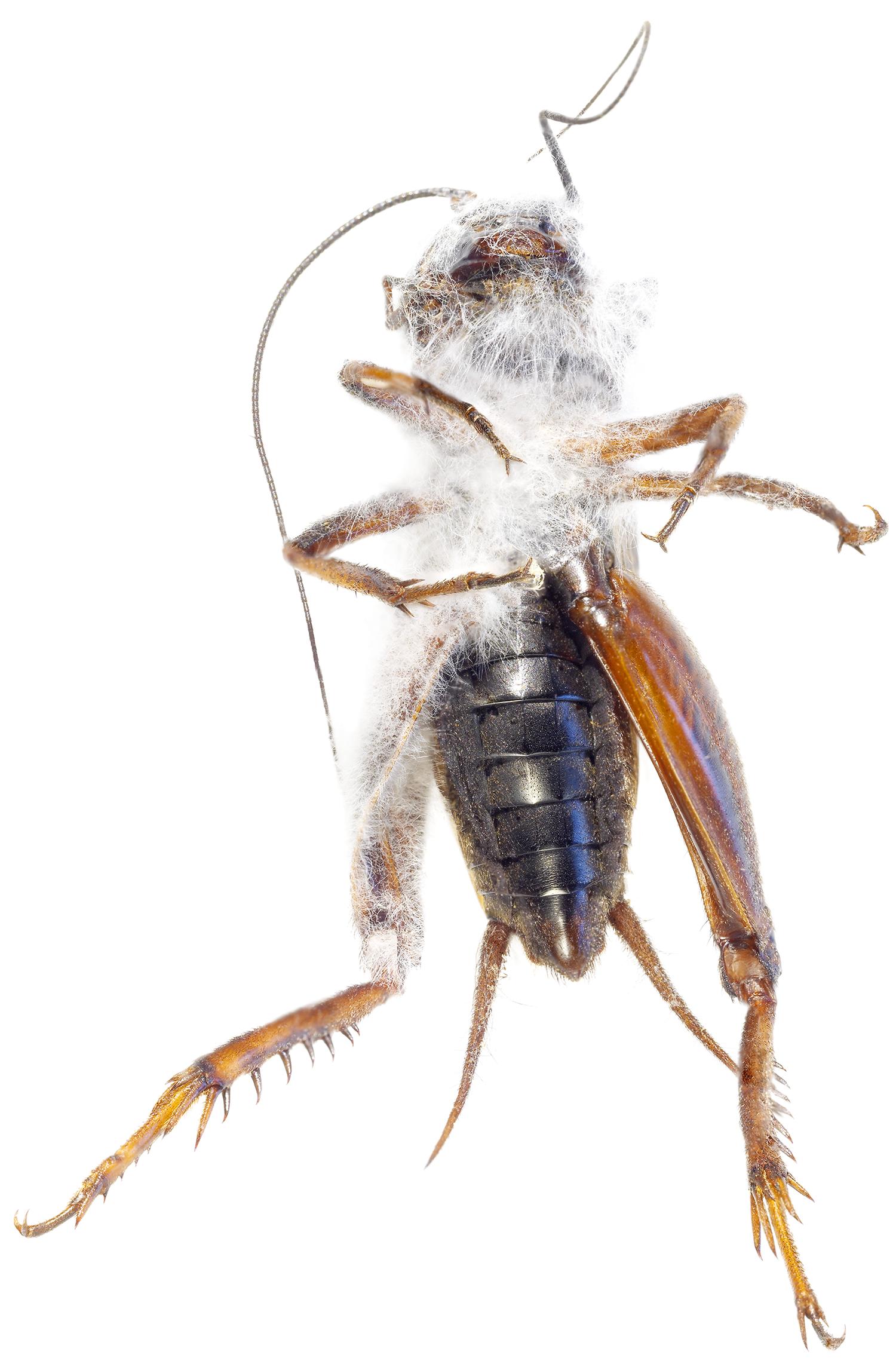 Gryllid Cricket with Oomiceti