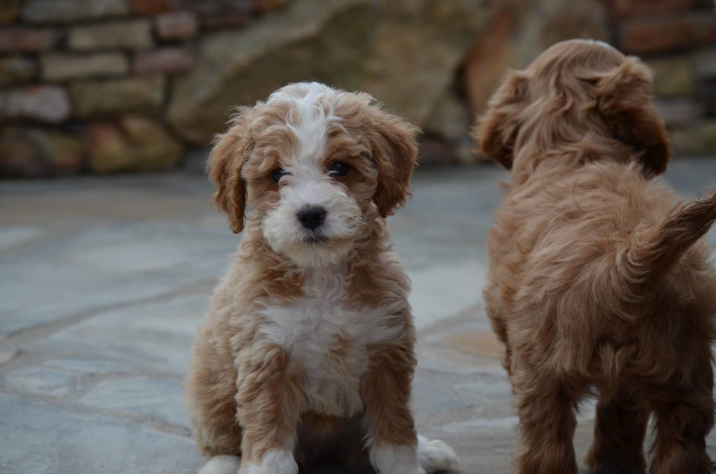 Best-Goldendoodle-Breeders-1024x678.jpg