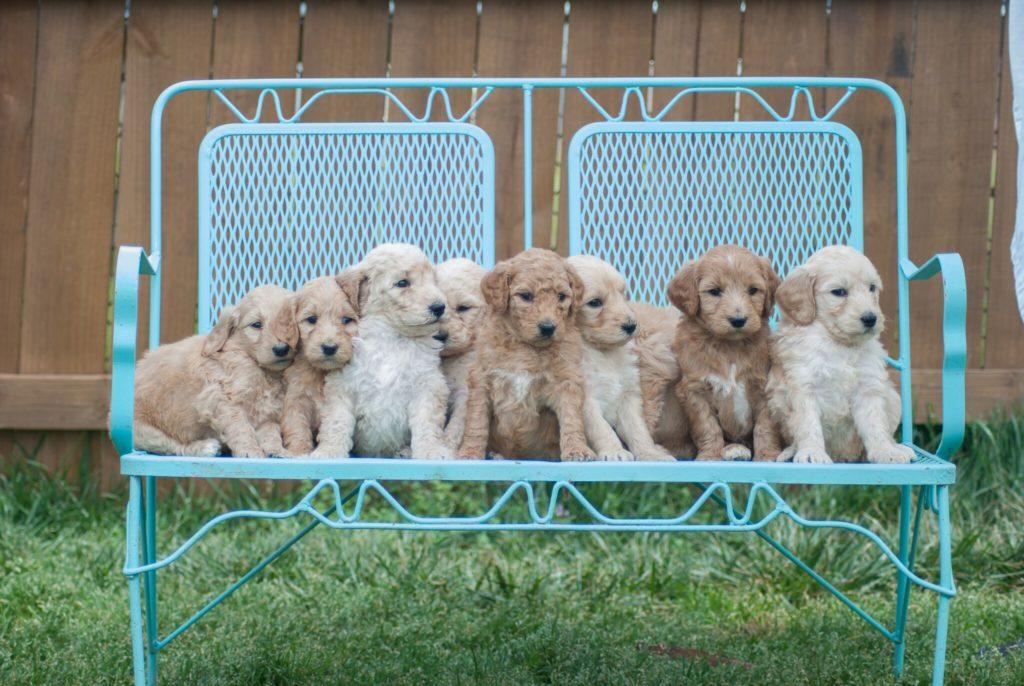 Mini-Goldendoodle-puppy-1-1024x686.jpg