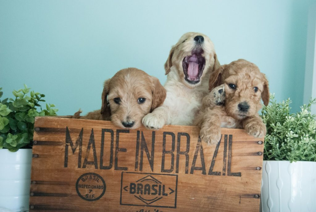 Mini-Goldendoodle-puppy-3-1024x686.jpg