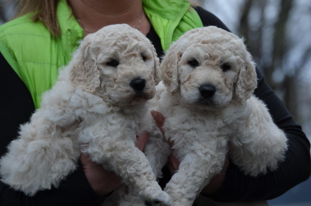 BestGoldendoodles-f1b-puppies-2.jpeg