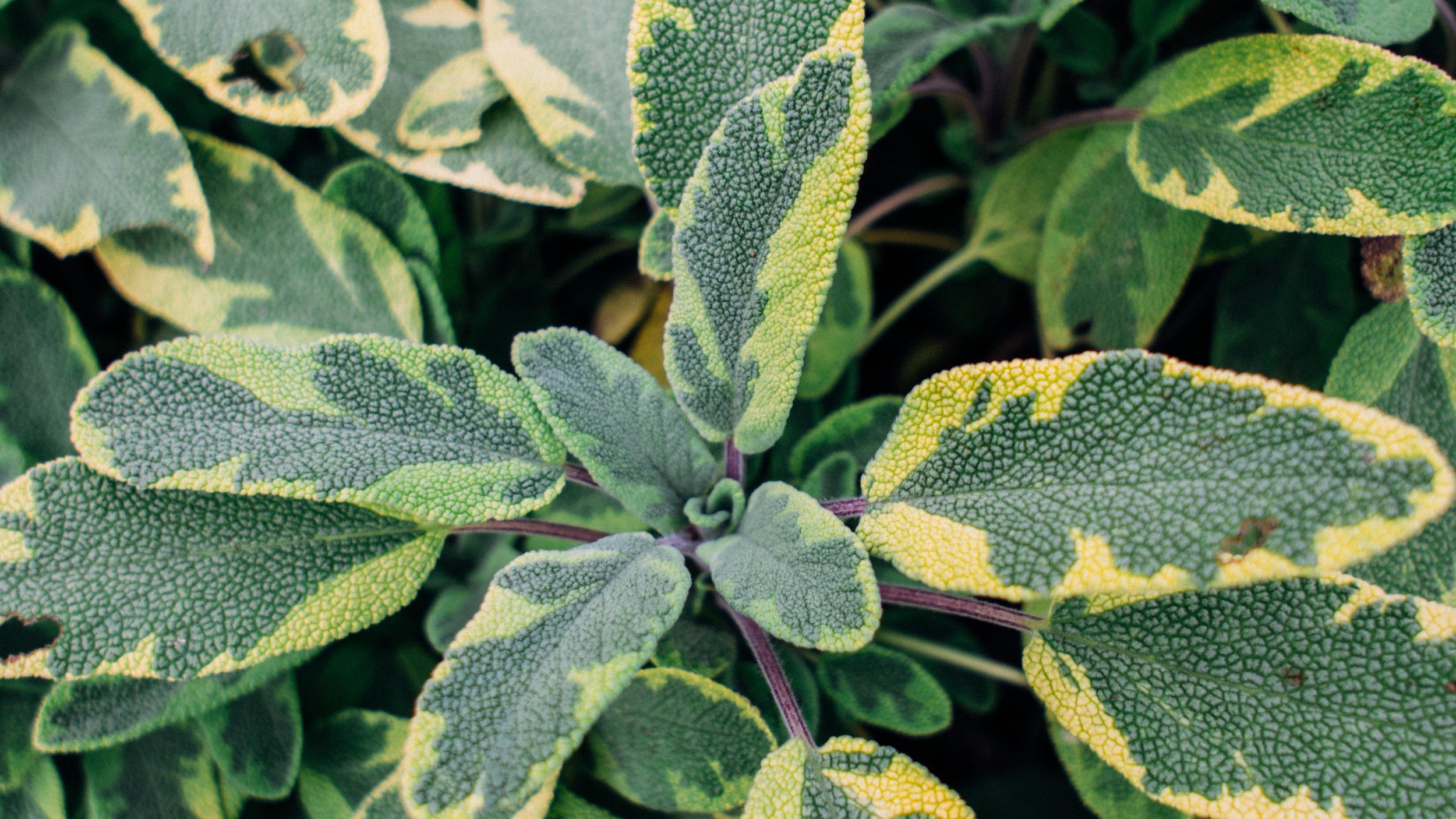 psf_herbs-5.jpg