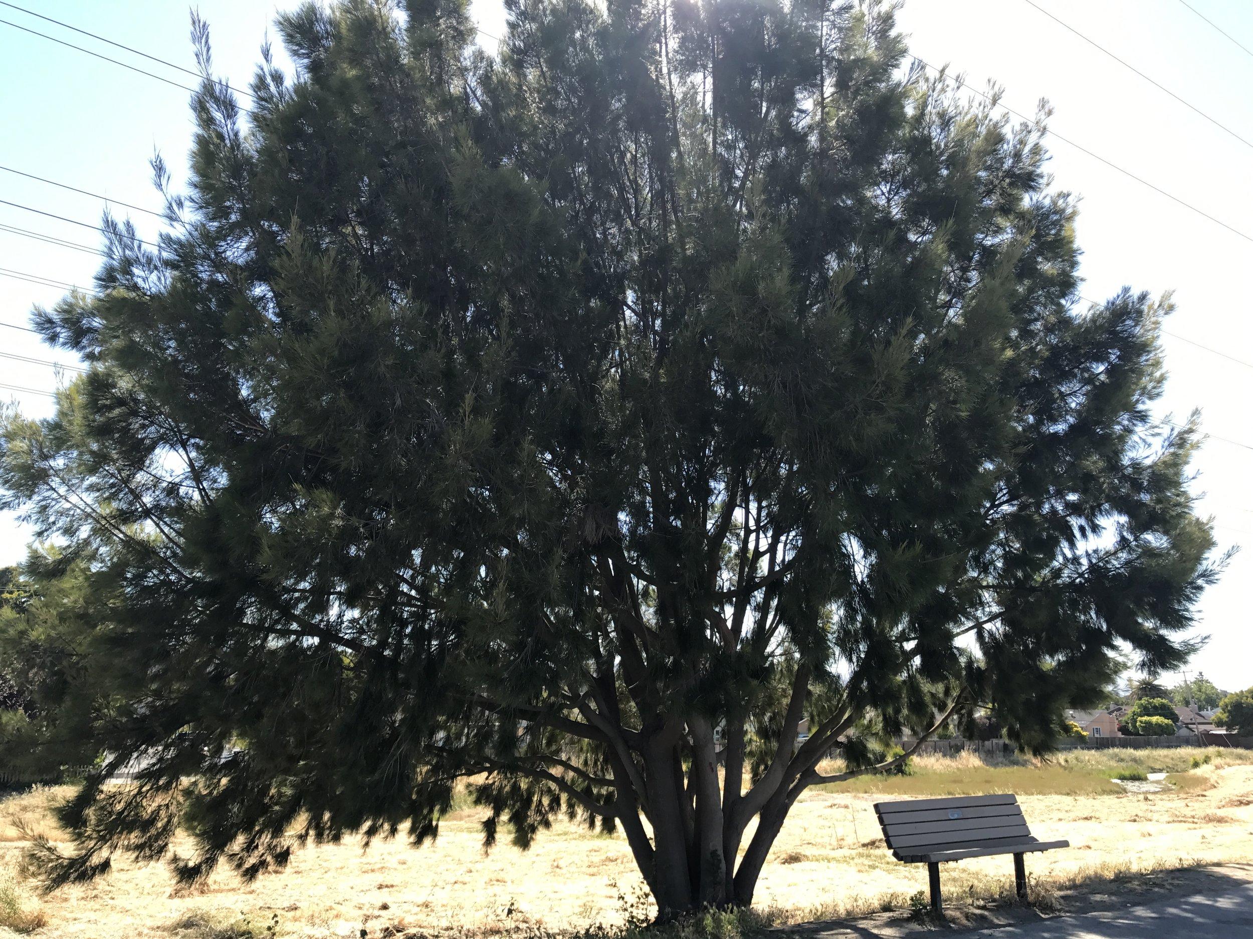San Mateo Tree with Bench.JPG