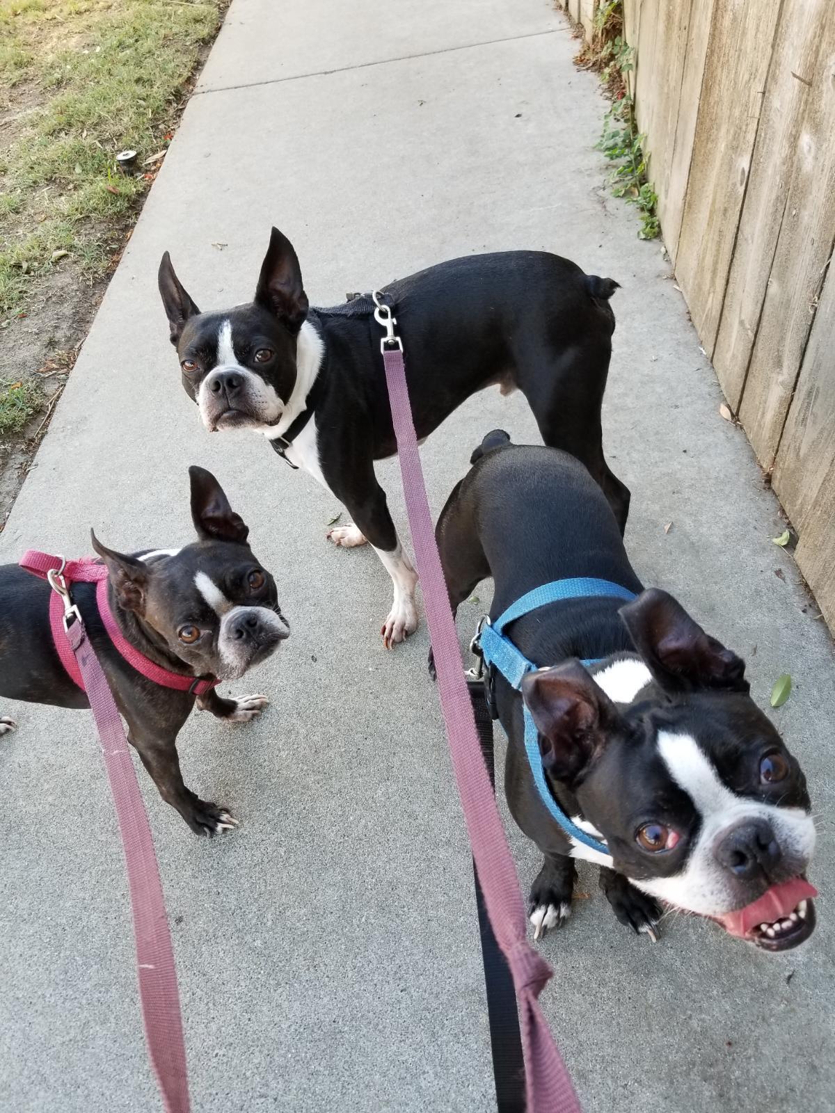 Boston Terrier brigade