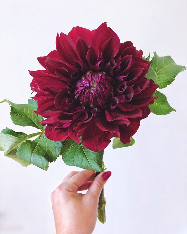 • S E R I O U S L Y • You gotta be kidding me with these beauties, @polito_flower_farms. They are what my dreams are made of. Sending the northern hemisphere all of these magical dahlia vibes this spring and summer, because our season has been absolutely *bonkers*. #ayearinflowers #popetteblooms • • • • •#flashesofdelight #love #loveflowers #apinkmood #inspiredbypetals #flowersofinstagram #omgflowers #morepink #flowerheaven #beauty #blooms #fleurs #flowerlover #florals #freshflowers #flowermarket #flowers #florist #details #pink #dspink #dscolor #forflowerlovers #moodforfloral #abmlifeisbeautiful  #ihavethisthingwithpink #ihavethisthingwithflowers #dahlia