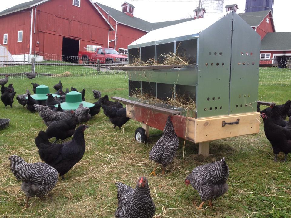 lawn chickens.jpg