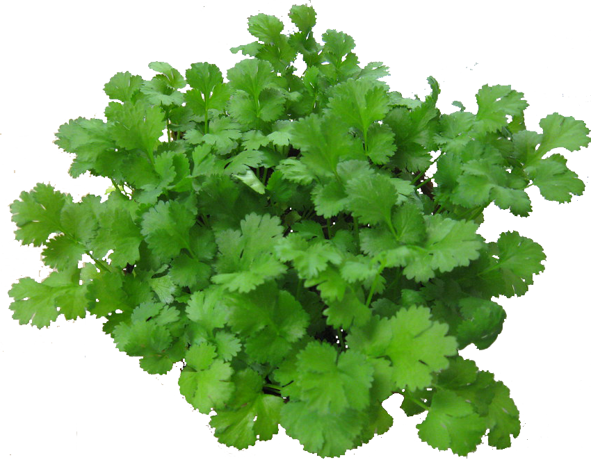 """""""Cilantro"""" by azmichelle is licensed under CC BY-NC-SA 2.0"""