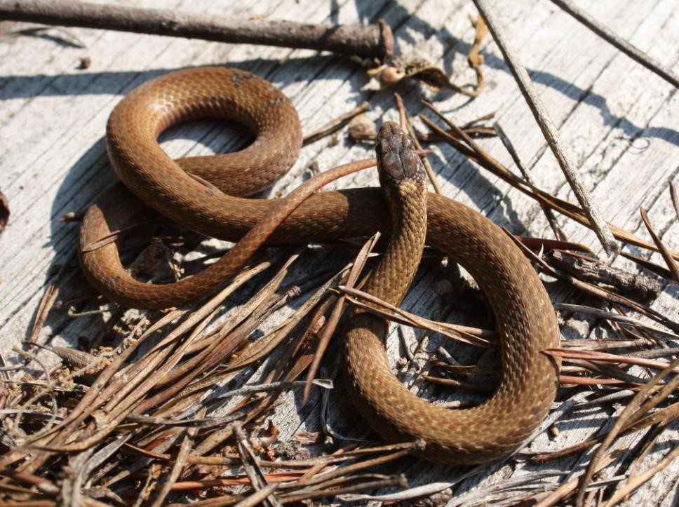 - Storeria occipitomaculata occipitomaculataNorthern Red-Bellied Snake