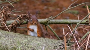 glorious galloway red squirrels at Kirroughtree.jpg
