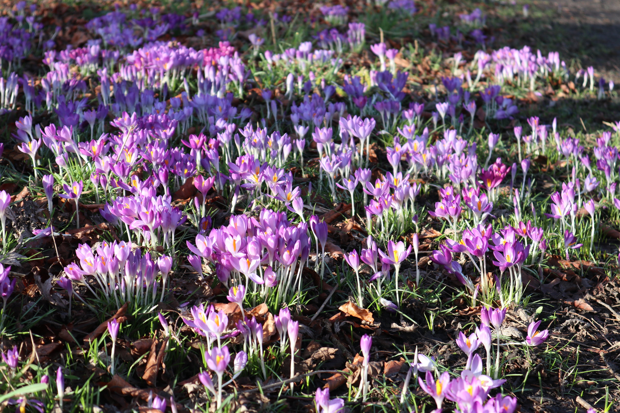 Spring Crocuses Harrogate