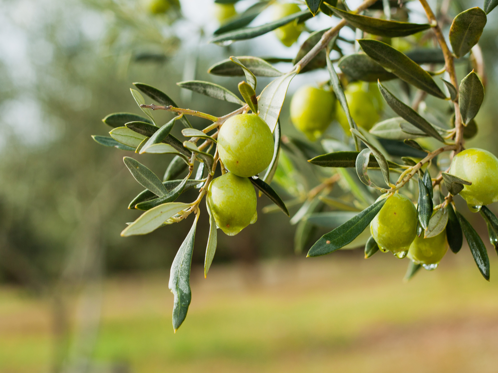 Organic Extra Virgin Unfiltered Olive Oil - The combination of arbequina and picual olives gives this premium oil a particularly intense fresh and fruity taste with a light peppery back note. The closer to the olive harvest, the more intense the flavour will be and as with all good olive oils it will mellow over time. There will be natural sedimentation in the bottle and some variation in colour can occur but this is totally normal for an organic oil of this nature.