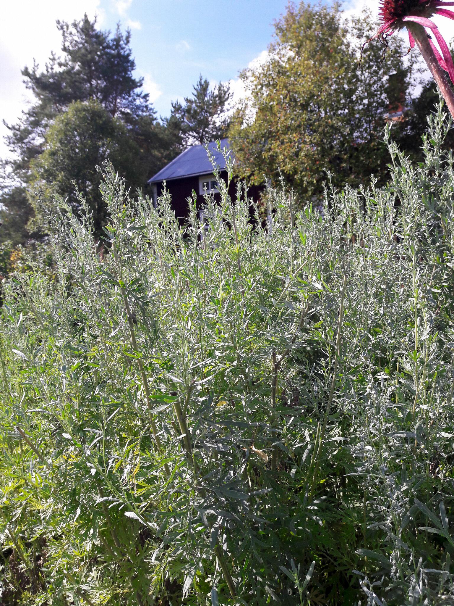 Komean, yli metrin korkuiseksi kasvavan monivuotisen kasvin lehdissä on voimakas yrttinen tuoksu.