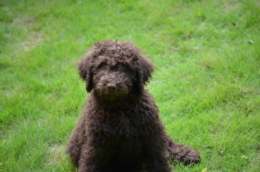 chocolate-labradoodle-puppy.jpeg