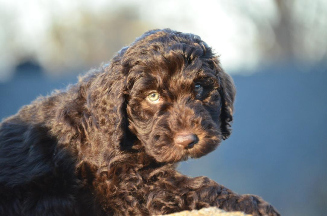 Asheville-chocolate-Labradoodle-puppy-32.jpeg