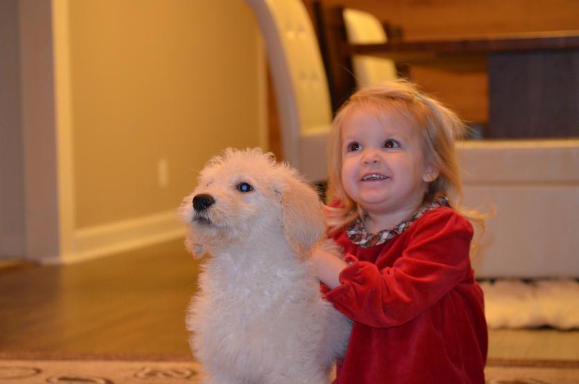 white-f1b-labradoodle-puppy-8.jpeg