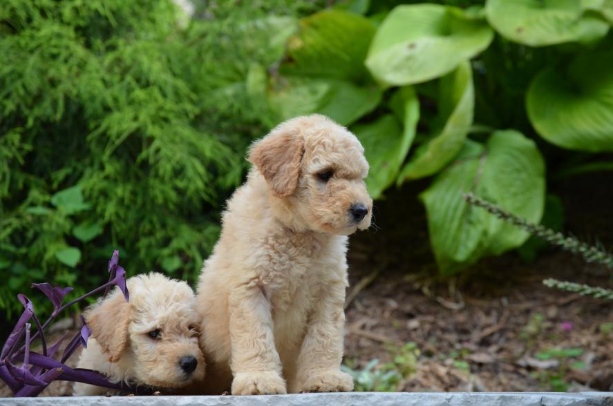 F1b-red-cream-black-Labradoodle-puppies-11.jpeg