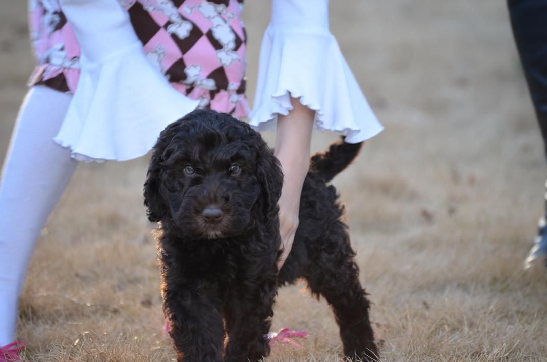 Asheville-chocolate-Labradoodle-puppy-41.jpeg