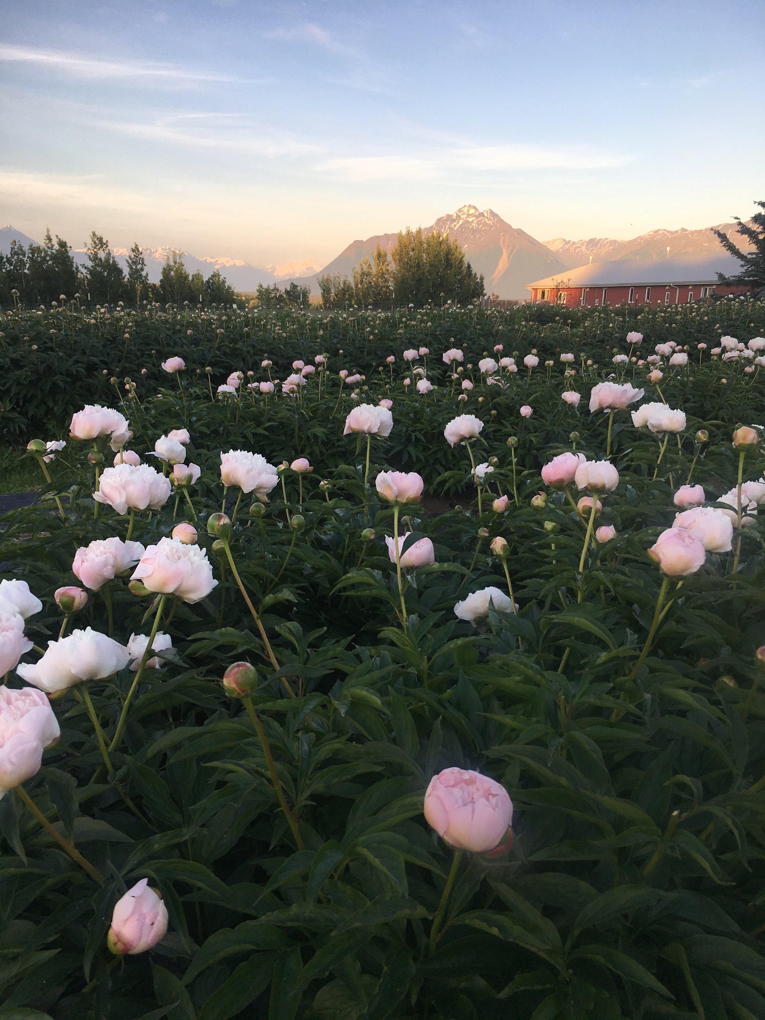 (Photo courtesy of the Alaska Peony Cooperative)