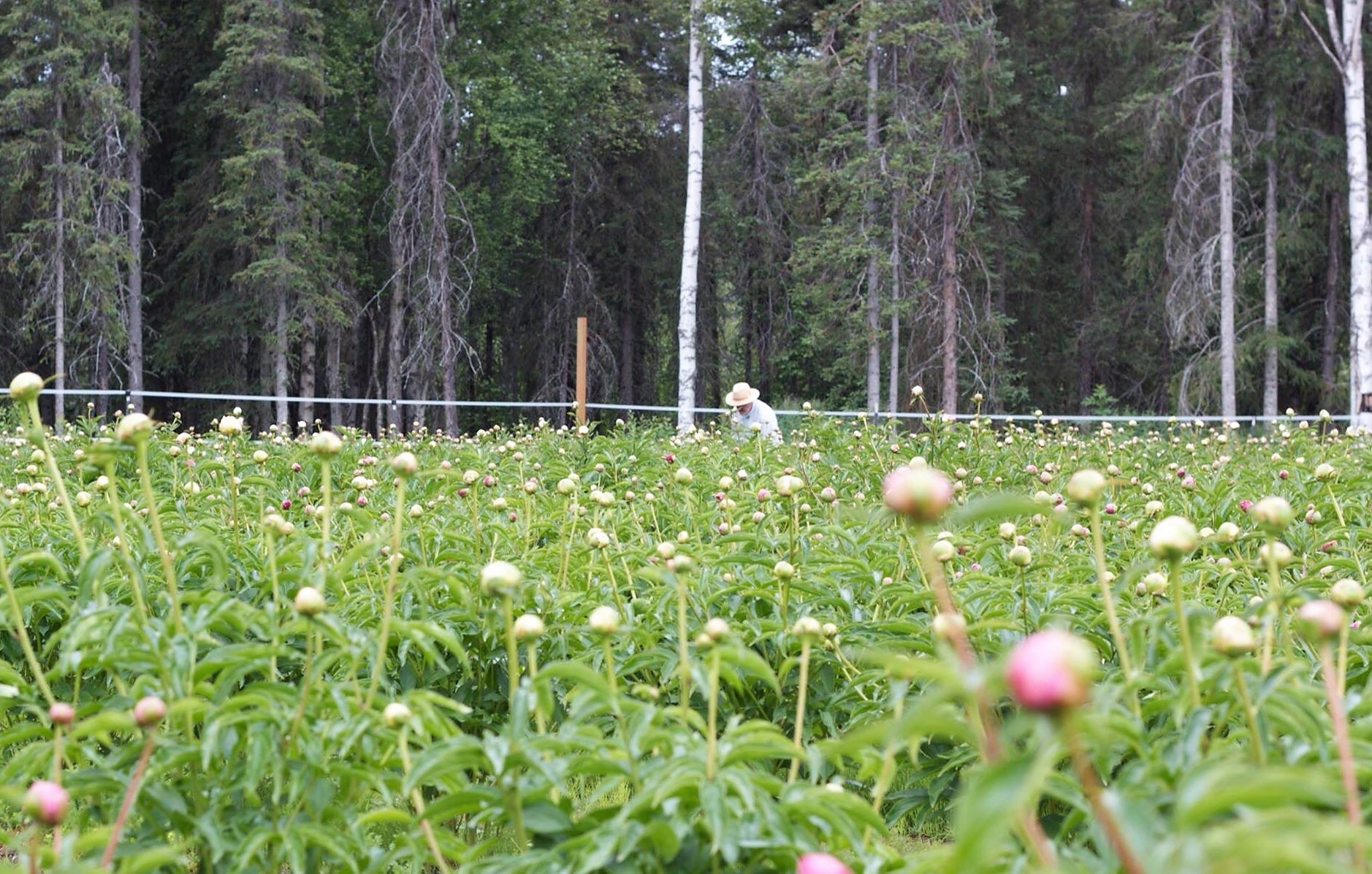 Giggly Roots Gardens, a Willow-based farm part of the Alaska Peony Cooperative. (Photo courtesy of the Alaska Peony Cooperative).