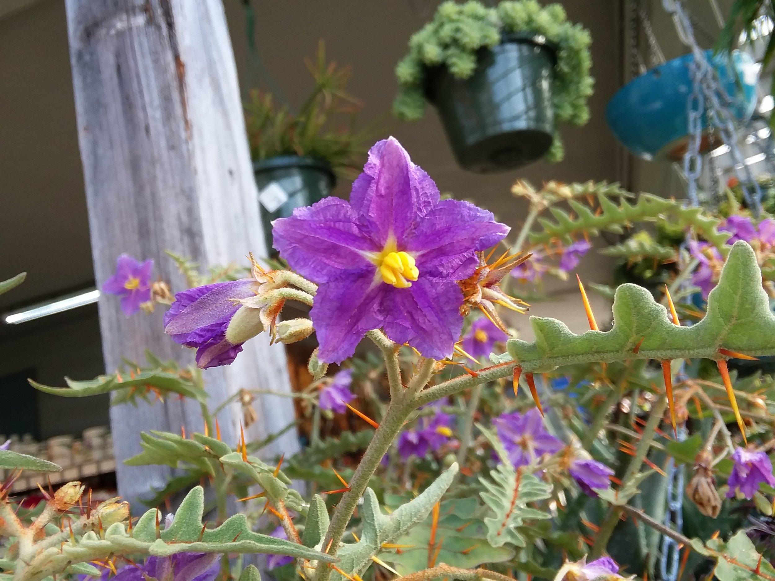 Solanum Pyracanthum Firethorn Nightshade
