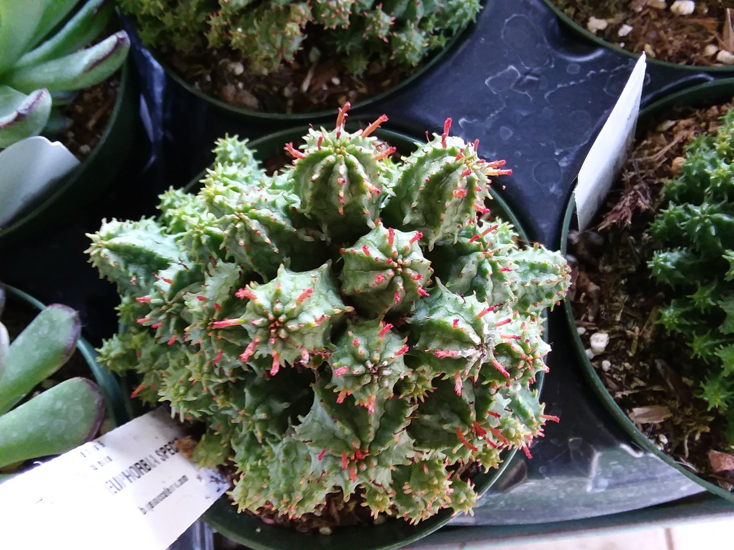 Euphorbia Specis