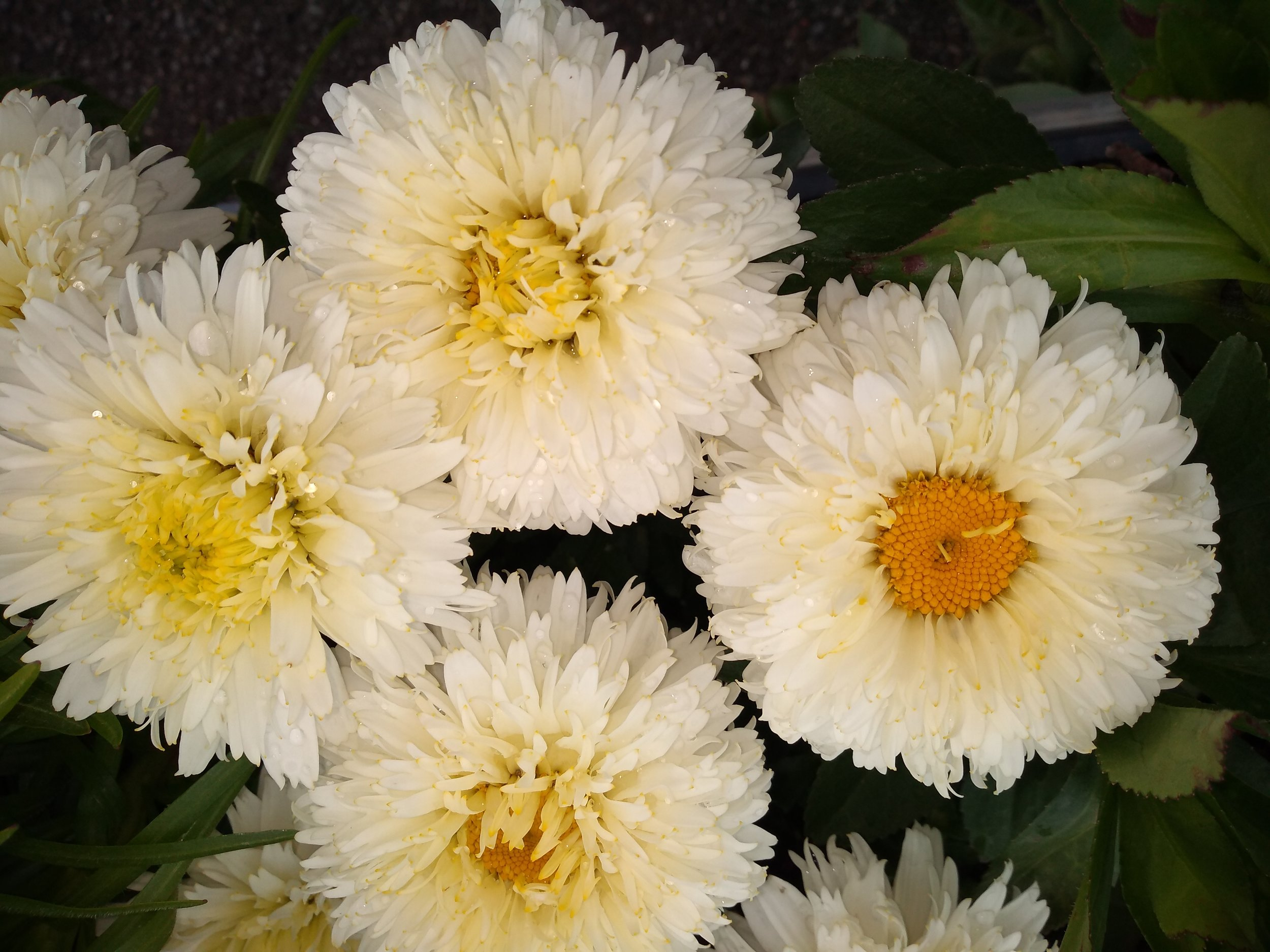 Leucanthemum x Superbum 'Macaroon'