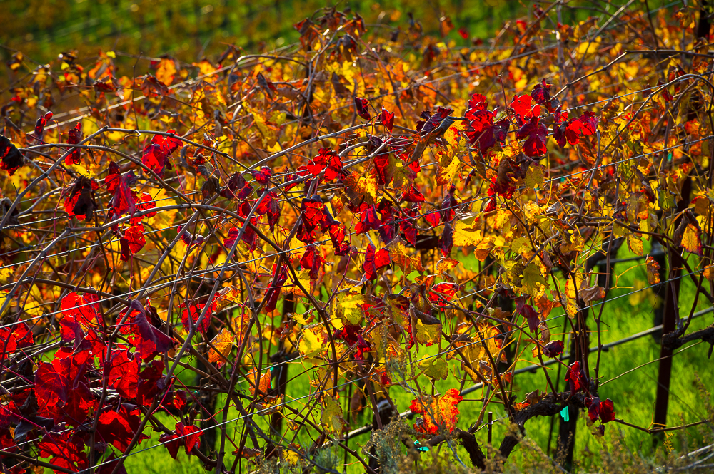 Aver-Family-Vineyards-Gilroy-Winery-Vines-up-close.jpg